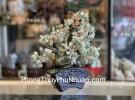 Cây đông linh thân bonsai chậu kiểu nhật mới (Phước) KC119