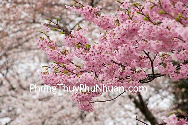 hoa dao 021 Nguyên tắc bảo vệ vị trí Đào hoa